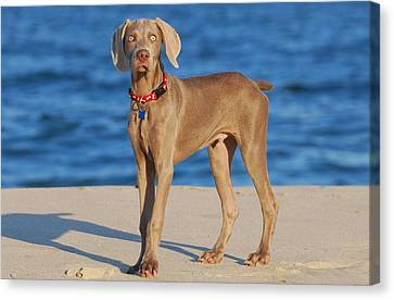 What - Weimaraner Puppy Canvas Print by Angie Tirado