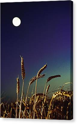 Wheat Field At Night Under The Moon Canvas Print by The Irish Image Collection