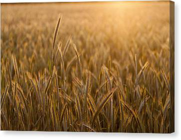 Wheat Field During Sunrise Canvas Print by Bjorn Holland