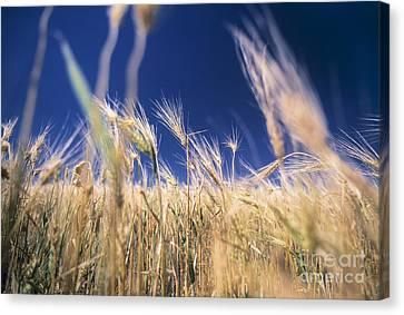 Wheat Field Canvas Print by Juan  Silva