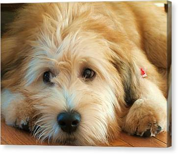 Wheaten Terrier 1 Canvas Print by Vijay Sharon Govender