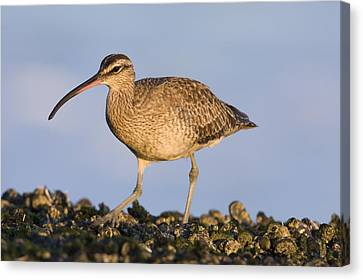 Whimbrel Foraging Natural Bridges State Canvas Print