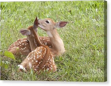 Canvas Print featuring the photograph Whispering Fawns by Jeannette Hunt