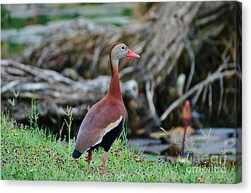 Whistling Duck Pauses Canvas Print