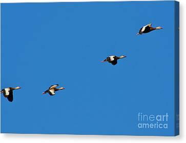 Whistling Ducks In Flight Canvas Print