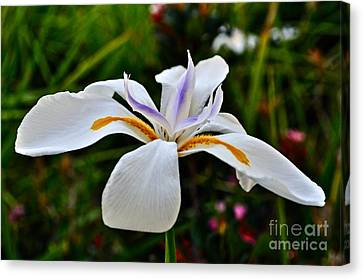 White African Iris Canvas Print by Gwyn Newcombe