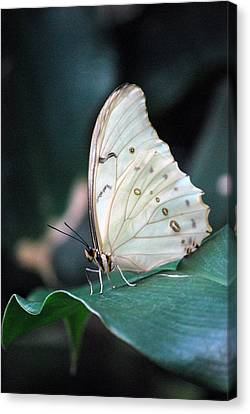 Canvas Print featuring the photograph White And Beautiful by Amee Cave
