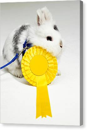White And Black Rabbit On Blue Leash With Yellow Rosette Canvas Print by Michael Blann