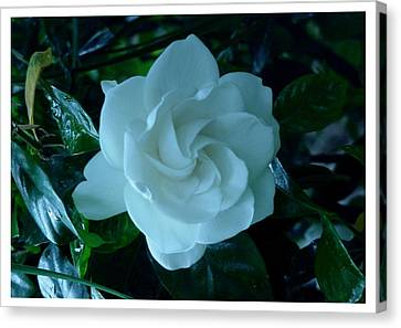 Canvas Print featuring the photograph White And Fragrant by Frank Wickham