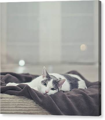 White And Grey Cat Lying On Brown Blanket Canvas Print by Cindy Prins