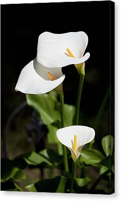 White Calla Lilies Canvas Print by Tobias Titz