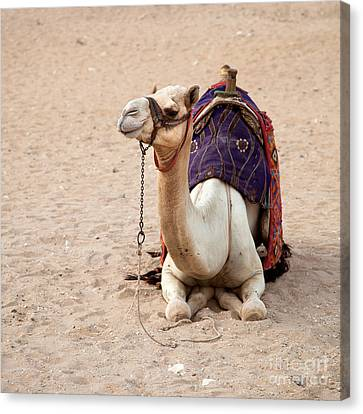 Bedouin Canvas Print - White Camel by Jane Rix