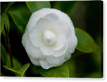 White Camellia Canvas Print by Rich Franco