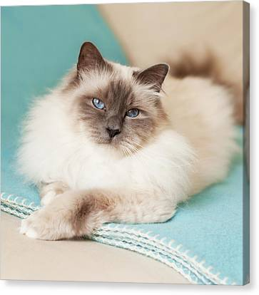 White Cat On Blue Blanket Canvas Print by MariaR