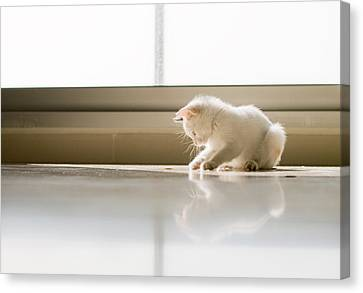 White Cat Playing On The Floor Canvas Print by Jose Torralba