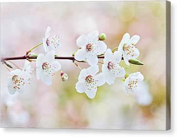 White Cherry Blossom Canvas Print by Jacky Parker Photography