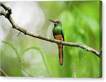 White Chinned Jacamar Canvas Print by Rebecca Yale