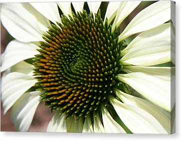 Canvas Print featuring the photograph White Coneflower Daisy by Donna Corless