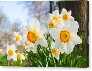 White Daffodils Canvas Print by Hans Engbers