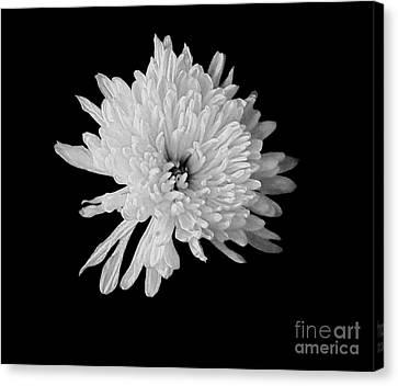 White Dahlia Blossom Canvas Print by Marsha Heiken
