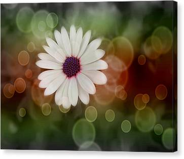 White Daisy In A Sunset Canvas Print by Marianna Mills