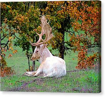 Canvas Print featuring the photograph White Deer by Wendy McKennon