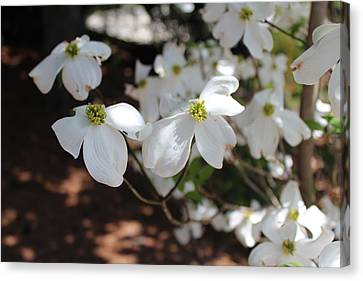 Canvas Print featuring the photograph White Dogwood by Bob Whitt