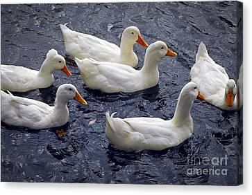 White Ducks Canvas Print by Elena Elisseeva