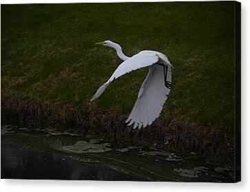 White Egret Canvas Print by Randy J Heath