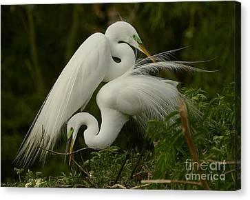 White Egrets Working Together Canvas Print by Myrna Bradshaw