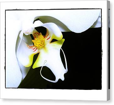 White Elegance Canvas Print by Judi Bagwell