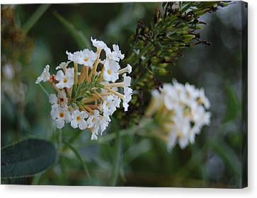 White Flower Canvas Print by Beverly Hammond