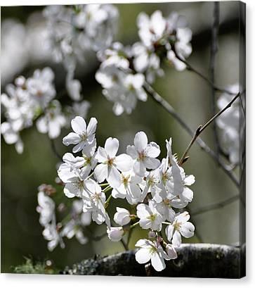 White Flowering Plum Canvas Print by Helen Haw