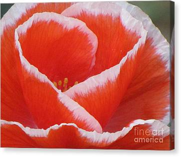 Canvas Print featuring the photograph White Fringed Red Poppy by Michele Penner