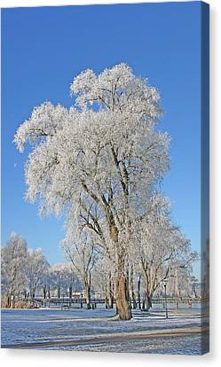 White Frost Tree Canvas Print by Ralf Kaiser