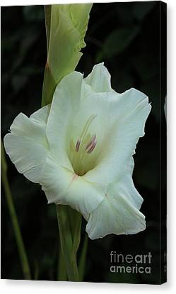 White Gladiolus Canvas Print by Marjorie Imbeau