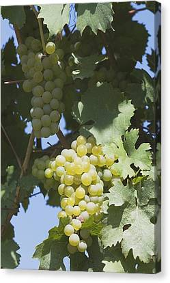 White Grapes On The Vine Canvas Print by Michael Interisano