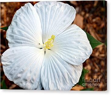 White Hibiscus Bloom Canvas Print by Eva Thomas
