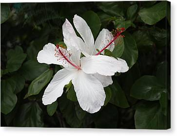 Canvas Print featuring the photograph White Hibiscus Twins by Craig Wood
