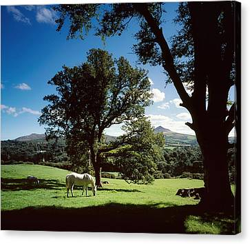 White Horse At Powerscourt, Co Wicklow Canvas Print by The Irish Image Collection