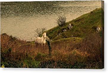 White Horse Canvas Print by Barbara Walsh