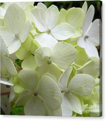 Canvas Print featuring the photograph White Hydrangea by Barbara Moignard