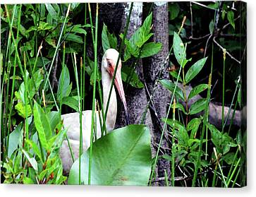 Canvas Print featuring the photograph White Ibis At The Everglades by Pravine Chester