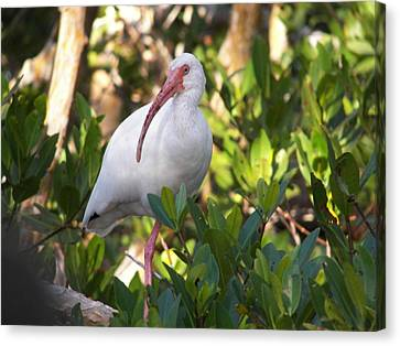 White Ibis Canvas Print by Judy Via-Wolff