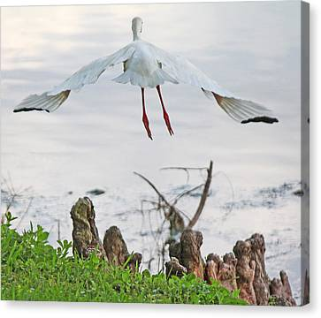 White Ibis Liftoff Canvas Print by Becky Lodes