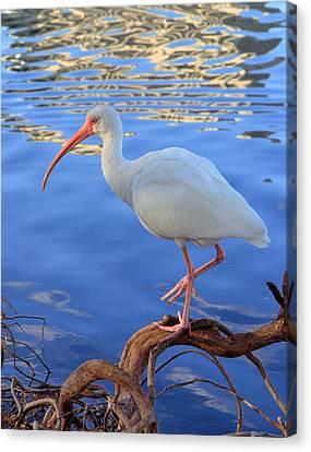 White Ibis Canvas Print by Rick Lesquier