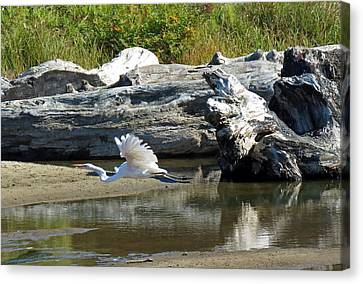 White In Flight Canvas Print by Chris Anderson