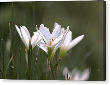 White Lily - Symbol Of Purity Canvas Print by Ramabhadran Thirupattur