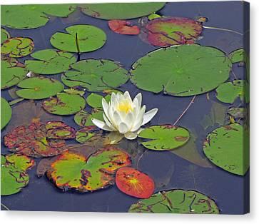 White Lilypad Flower Canvas Print