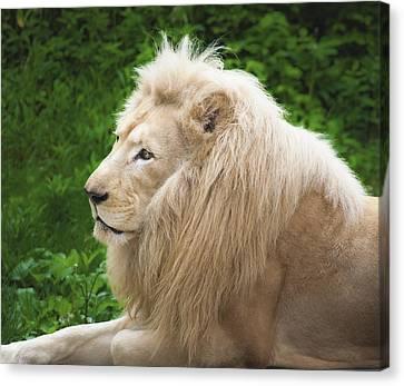 White Lion Canvas Print by Jen Morrison